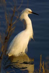 A splendid snowy egret stands in water at the Blackwater National Wildlife Refuge, in Maryland. It was hunted almost to extinction because of its beautiful plumage, which was used to decorate fashionable womens' hats in the 19th century. Photo by Katherine Whittemore, U.S. Fish and Wildlife Service.
