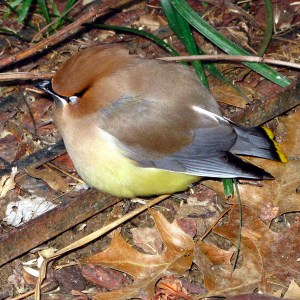 Was this dazed cedar waxwing inebriated from consuming fermented fruit and/or concussed by flying into a window? Photo © Bruce Roberts.