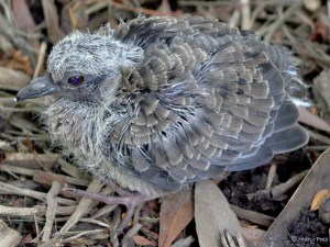 Mourning doves, like this late (7-8 day old) nestling,