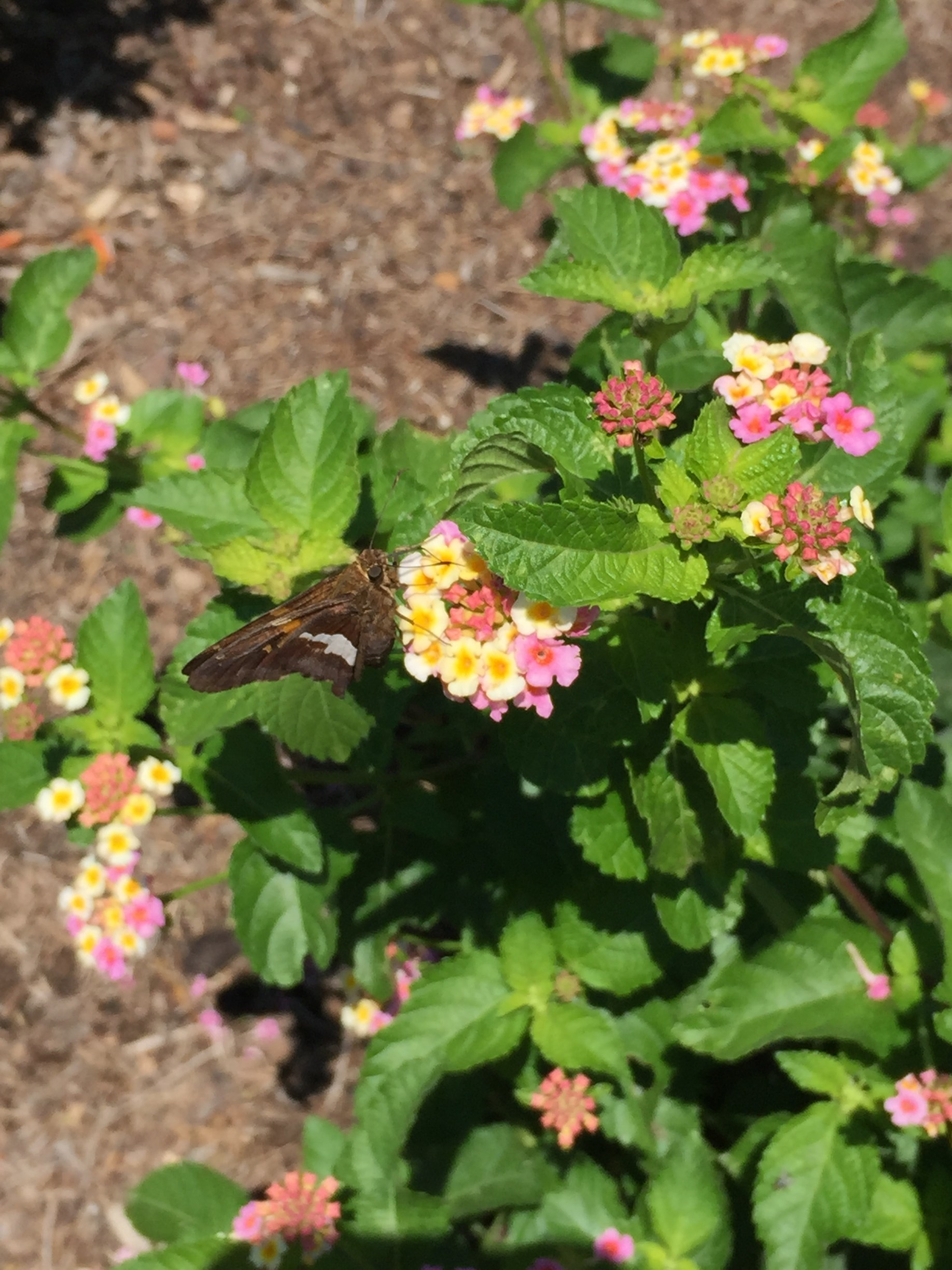A butterfly visits lantana, one of almost 300 native and non-native plant species in the Butterfly Garden. Photo © 2018 Elaine Mills.