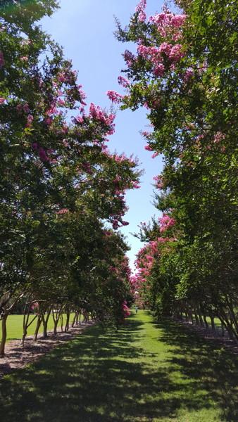 Allée of crapemyrtles in the Flowering Arboretum. Photo © 2018 Bob Kline.