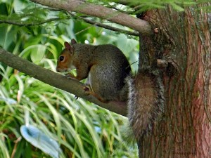 At Glencarlyn Library Community Garden, an eastern gray squirrel tried to escape the camera by scurrying up Taxodium distichum (bald cypress). Little did it know that I was as much interested in the red and brown fissured tree trunk by which it sheltered. Photo © Mary Free