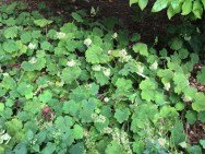 Colony of Heuchera villosa (Hairy Alumroot). Photo by Elaine L. Mills, 2018-09-30, Nature Conservancy Garden.