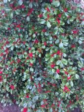 Ilex opaca fruite in Marche. Photo © 2017 Elaine Mills