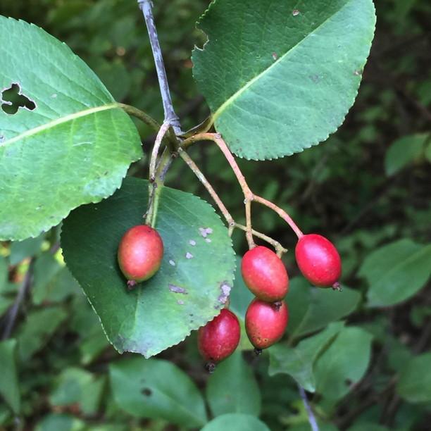 Ripe drupes of the Viburnum prunifolium,(Black Haw) shrub. Photo © 2018 Elaine Mills