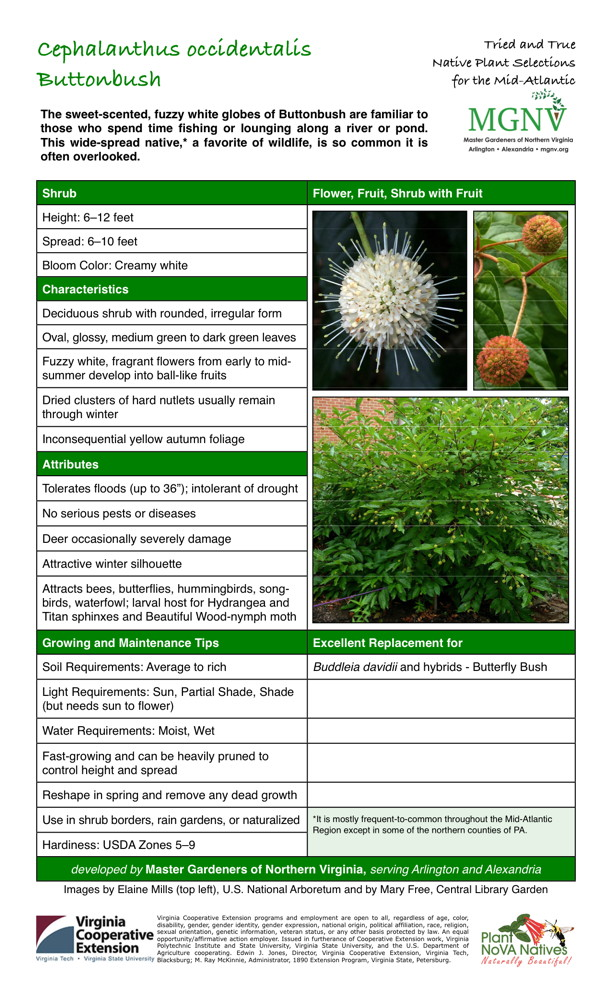 """Cephalanthus occidentalis, Buttonbush Shrub Height: 6–12 feet Spread: 6–10 feet Bloom Color: Creamy white Characteristics Deciduous shrub with rounded, irregular form Oval, glossy, medium green to dark green leaves Fuzzy white, fragrant flowers from early to mid- summer develop into ball-like fruits Dried clusters of hard nutlets usually remain through winter Inconsequential yellow autumn foliage Attributes Tolerates floods (up to 36""""); intolerant of drought No serious pests or diseases Deer occasionally severely damage Attractive winter silhouette Attracts bees, butterflies, hummingbirds, song- birds, waterfowl; larval host for Hydrangea and Titan sphinxes and Beautiful Wood-nymph moth Growing and Maintenance Tips Soil Requirements: Average to rich Light Requirements: Sun, Partial Shade, Shade (but needs sun to flower) Water Requirements: Moist, Wet Fast-growing and can be heavily pruned to control height and spread Reshape in spring and remove any dead growth Use in shrub borders, rain gardens, or naturalized It is mostly frequent-to-common throughout the Mid-Atlantic Region except in some of the northern counties of PA. Hardiness: USDA Zones 5–9 Excellent Replacement for Buddleia davidii and hybrids - Butterfly Bush"""
