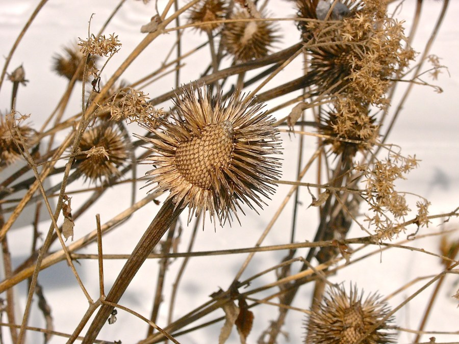 Purple Cone Flower's spiky Seed Heads feed the birds and form a winter tableau. Photo © 2015 Mary Free