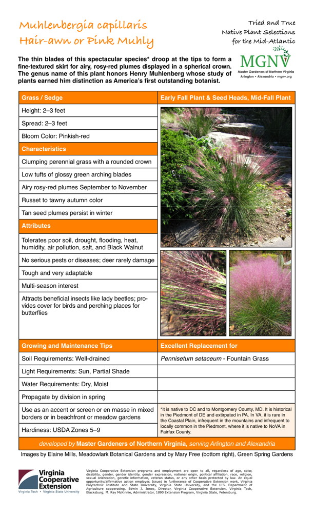 Muhlenbergia capillaris (Hair-awn or Pink Muhly), Grass / Sedge Height: 2–3 feet Spread: 2–3 feet Bloom Color: Pinkish-red Characteristics Clumping perennial grass with a rounded crown Low tufts of glossy green arching blades Airy rosy-red plumes September to November Russet to tawny autumn color Tan seed plumes persist in winter Attributes Tolerates poor soil, drought, flooding, heat, humidity, air pollution, salt, and Black Walnut No serious pests or diseases; deer rarely damage Tough and very adaptable Multi-season interest Attracts beneficial insects like lady beetles; pro- vides cover for birds and perching places for butterflies Growing and Maintenance Tips Soil Requirements: Well-drained Light Requirements: Sun, Partial Shade Water Requirements: Dry, Moist Propagate by division in spring Use as an accent or screen or en masse in mixed borders or in beachfront or meadow gardens *It is native to DC and to Montgomery County, MD. It is historical in the Piedmont of DE and extirpated in PA. In VA, it is rare in the Coastal Plain, infrequent in the mountains and infrequent to locally common in the Piedmont, where it is native to NoVA in Fairfax County. Hardiness: USDA Zones 5–9 Excellent Replacement for Pennisetum setaceum - Fountain Grass