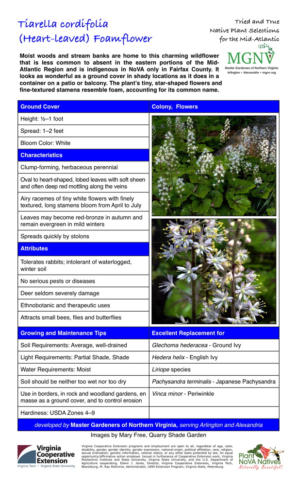 Tiarella cordifolia, (Heart-leaved) Foamflower Ground Cover Height: 1⁄2–1 foot Spread: 1–2 feet Bloom Color: White Characteristics Clump-forming, herbaceous perennial Oval to heart-shaped, lobed leaves with soft sheen and often deep red mottling along the veins Airy racemes of tiny white flowers with finely textured, long stamens bloom from April to July Leaves may become red-bronze in autumn and remain evergreen in mild winters Spreads quickly by stolons Attributes Tolerates rabbits; intolerant of waterlogged, winter soil No serious pests or diseases Deer seldom severely damage Ethnobotanic and therapeutic uses Attracts small bees, flies and butterflies Growing and Maintenance Tips Soil Requirements: Average, well-drained Light Requirements: Partial Shade, Shade Water Requirements: Moist Soil should be neither too wet nor too dry Use in borders, in rock and woodland gardens, en masse as a ground cover, and to control erosion Hardiness: USDA Zones 4–9 Excellent Replacement for Glechoma hederacea - Ground Ivy Hedera helix - English Ivy Liriope species Pachysandra terminalis - Japanese Pachysandra Vinca minor - Periwinkle