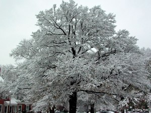 Snow covers the branches of a Quercus hemisphaerica (Darlington oak) in Arlington, Virginia after an unexpected snow storm on February 25, 2007. © Mary Free