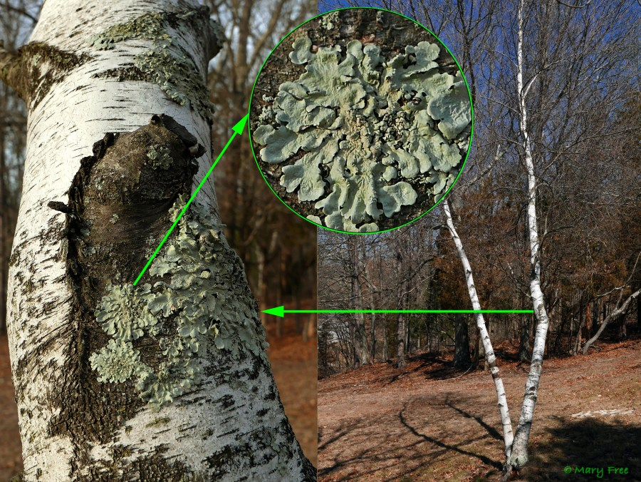 A native North American foliose lichen, Flavoparmelia caperata (common greenshield lichen), is seen growing on birch bark at Fort Shantok. © Mary Free