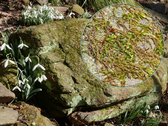 Mosses, maybe Homomalium adnatum, and lichens cover this boulder surrounded by Galanthus elwesii, blooming in the Shade Garden in early February. © 2019 Mary Free