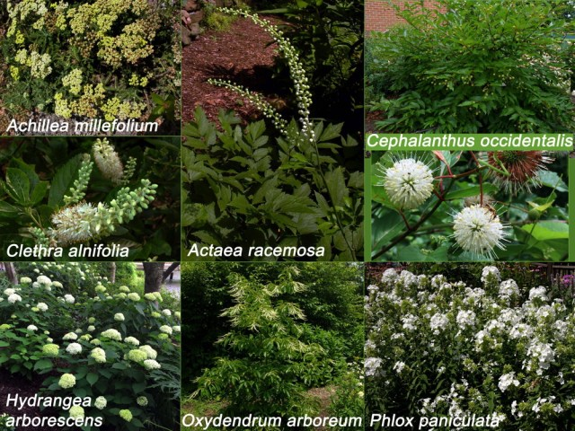 White native flowers for Independence Day. Achillea millefolium, Clethra alnifolia, Hydrangea arborescens, Actea racemosa, Oxydendrum arboreum, Cephalanthus occidentalis, Phlox paniculata. Photos © 2019 Mary Free and Elaine Mills (Cephalanthus flowers and Hydrangea arborescens)