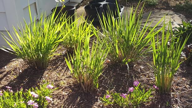 Panicum virgatum (Switch Grass) Photo by Robert M. Kline, 2016-04-20, private garden, Arlington, Virginia.