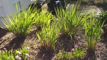 Panicum virgatum (Switch Grass) Photo by Robert M. Kline, 2016-04-20, private garden, Arlington, Virginia.