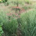 Panicum virgatum (Switch Grass) in July. Photo by Elaine L. Mills, 2017-07-11, Rockville, Maryland.