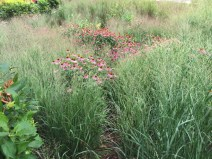 Panicum virgatum (Switch Grass) in July. Photo by Elaine L. Mills, 2017-07-11, Rockville, Maryland.