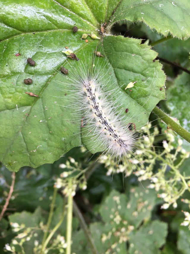 A fall webworm (Hyphantria cunea) dining alone on a Heuchera americana, alumroot, in the Glencarlyn Library Garden with frass droppings left behind. Photo © Alyssa Ford Morel