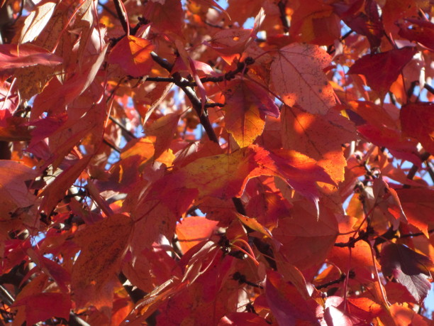 Acer rubrum (Red Maple) leaves. Photo by Elaine L. Mills, 2014-11-10, Fairlington Community Center.