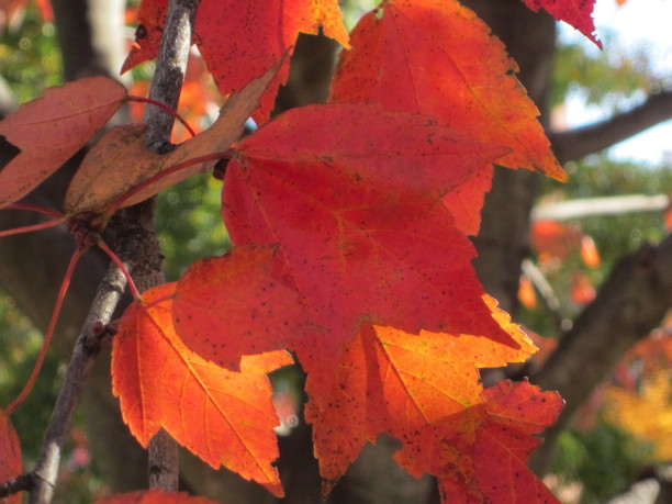 Acer rubrum (Red Maple) leaf detail in November. Photo by Elaine L. Mills, 2014-11-10, Fairlington Community Center.