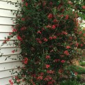 Using vines such as Lonicera sempervirens can save space in smaller gardens. Photo © Elaine Mills