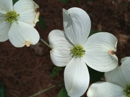 Cornus florida (Flowering Dogwood) flower detail in April. Photo by Elaine L. Mills, 2016-04-19, private garden, Arlington, Virginia.