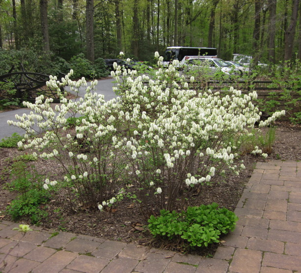 Fothergilla gardenii in landscape. Photo by Elaine L. Mills, 2014-05-07, Swarthmore, Pennsylvania