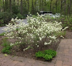 Fothergilla gardenii in landscape. Photo by Elaine L. Mills, 2014-05-07, Swarthmore, Pennsylvania
