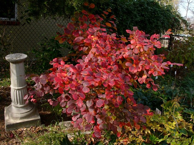 Fothergilla gardenii fall foliage in brilliant shades of crimson and burgundy. Photo © Mary Free, 2014-11-09, Glencarlyn Library Community Garden.