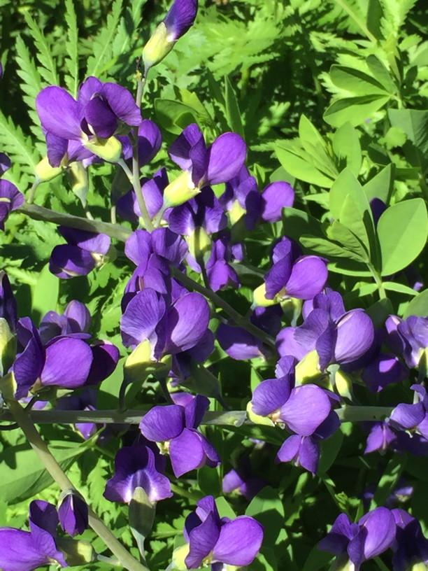 Baptisia australis (Blue Wild Indigo) flowers in May. Photo by Elaine L. Mills, 2017-05-15, Glencarlyn Library Community Garden.