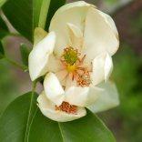 Magnolia virginiana flower with fallen stamens. Photo © Mary Free, 2019-05-08, Simpson Gardens, Alexandria, VA.