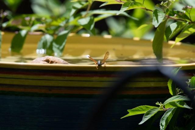 Wasp at bird bath Photo © 2018 Ed Colonna