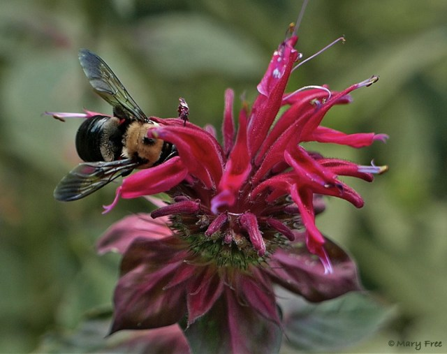 "Discovered near the Blue Ridge Parkway, Monarda didyma 'Jacob Cline' (scarlet beebalm) is considered a natural selection of wild native bee balm. In trials, 'Jacob Cline' ""faired quite well against the dreaded powdery mildew"" and was ""a major hit"" with hummers (""Mt. Cuba Center Puts Nativars to the Test,"" 2/6/18). It also attracts other pollinators like the pictured female Xylocopa virginica (eastern carpenter bee). Photo © 2019 Mary Free."