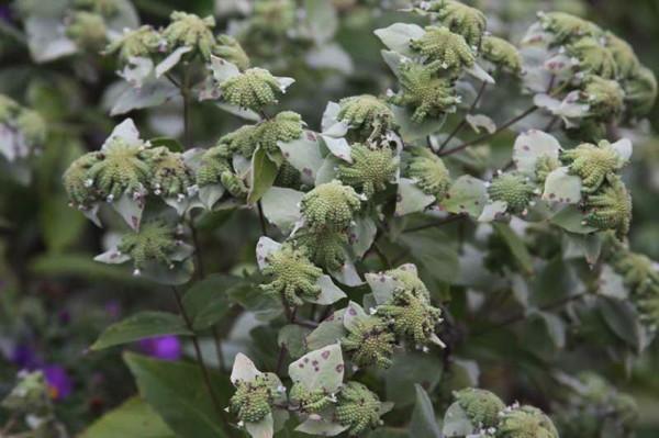 Pycnanthemum incanum (hoary mountain mint) Photo © Missouri Botanical Garden