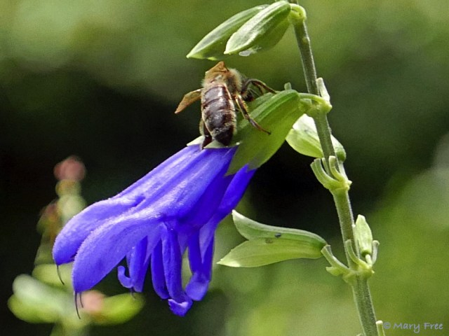 If you want to attract robbers and hummers to your garden, then plant Salvia guaranitica (anise-scented or hummingbird sage). Don't worry though, the only thing the robbers, like this Sunny Garden Apis mellifera (honey bee), will steal is nectar (see Flowers That Attract Pollinators And Robbers To AGarden). Photo © 2019 Mary Free.