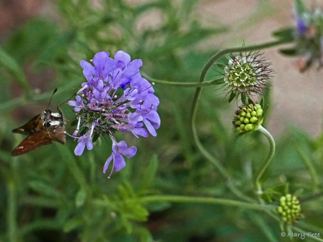 ompact habit, prolific flowers, and dissected, gray-green foliage are enough to recommend Scabiosa 'Butterfly Blue' (pincushion flower) as an edging plant, for border fronts or rock gardens. It attracts bees and small butterflies, like the pictured skipper, and its long blooming period—from mid-spring until frost and even on mild winter days—makes it even more desirable. Photo © 2019 Mary Free.