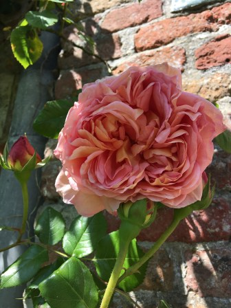 Rose at Oostkerke Castle, Ostend, Belgium Photo © 2019 Nancy Smith Brooks