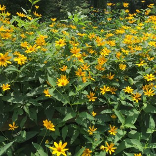 A stand of smooth oxeye.
