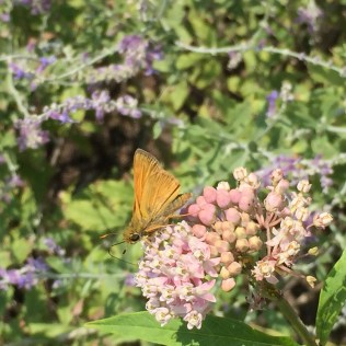 A skipper nectaring on swamp milkweed in the front garden at Glencarlyn.