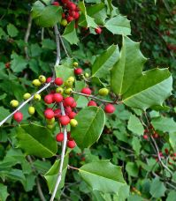 Ilex opaca (American holly) fruit and foliage in October. Photo © Mary Free