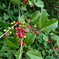 Ilex opaca fruit and foliage in October. Photo © Mary Free, 2014-10-21, Sunny Garden, Bon Air Park.