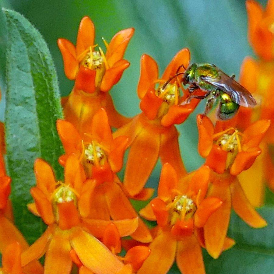Sweat bee feeding on Asclepias tuberosa flower. Photo © Mary Free, 2016-08-01, Quarry Shade Garden, Bob Air Park, Arlington, VA.