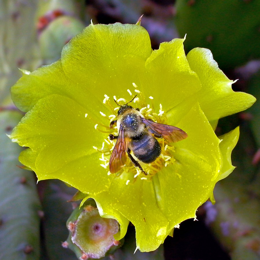 A bumble bee feeds on an Opuntia humifusa flower. Photo © Mary Free
