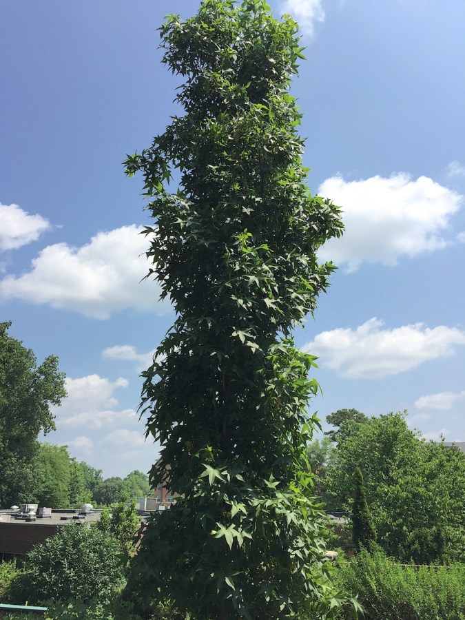 'Slender Silhouette' is a columnar form of our native sweetgum.
