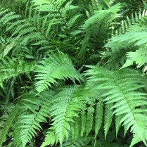 The rich green fronds of male fern are up to three feet long.