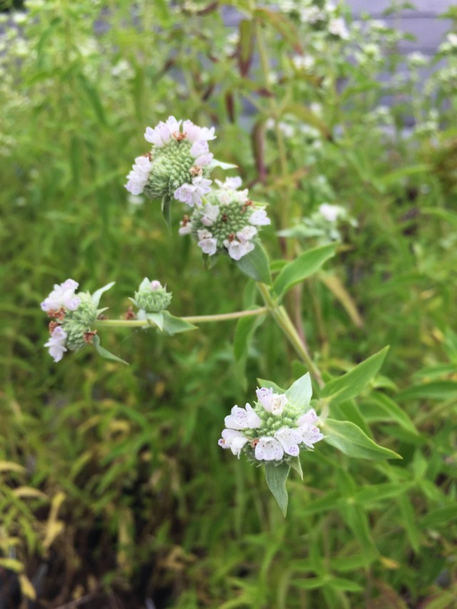 Virginia mountain-mint is an erect, many-branched plant with profuse flat-topped flower clusters.