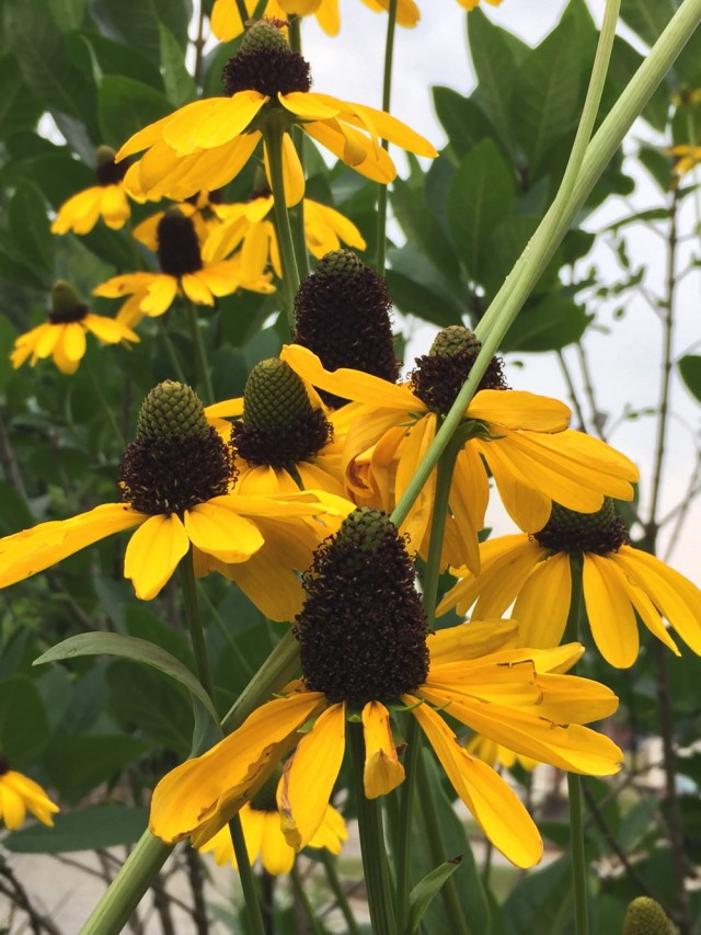 The central cones of large coneflowers range from 2 to 6 inches.