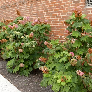 Hydrangea quercifolia foundation border on July 4th. Photo © Mary Free, 2019-07-04, Fairlington Community Center, Arlington, VA.