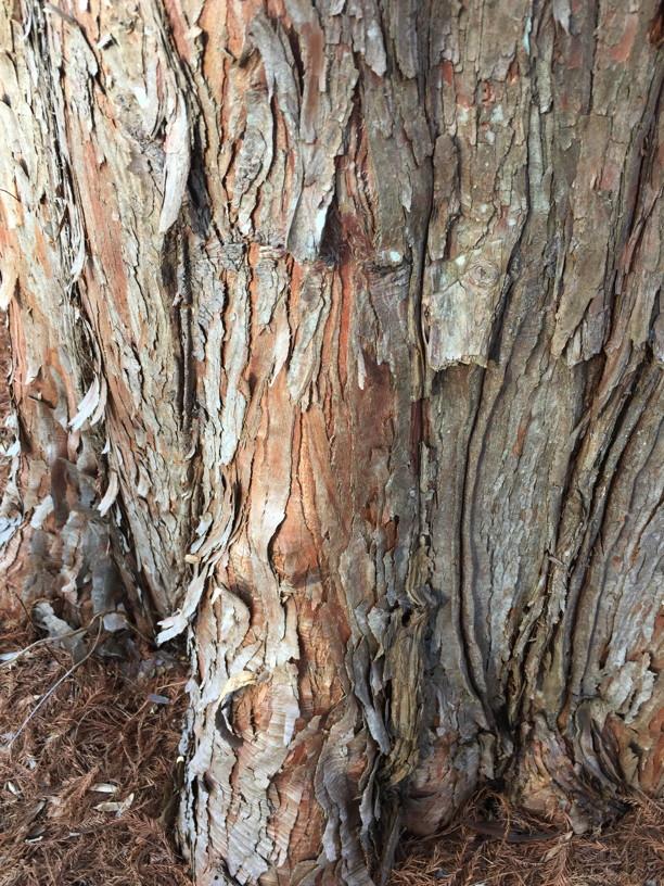 Taxodium distichum (Bald Cypress) barki in February. Photo by Elaine L. Mills, 2018-02-20, Meadowlark Botanical Gardens.