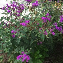 Vernonia noveboracensis (New York Ironweed) bush in bloom in September. Photo by Elaine L. Mills, 2018-09-07, private garden, Arlington, Virginia.
